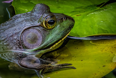 American Bullfrog Along Canary Creek (stevebfotos) Tags: americanbullfrog bullfrog canarycreek delaware fauna greatmarsh lewes reviewtodelete telephoto water naturephotography