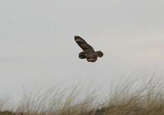 IMG_9982 (monika.carrie) Tags: monikacarrie wildlife seo shortearedowl forvie scotland owl