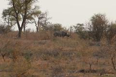 Black Rhino (npaprock) Tags: southafrica mpumalanga africa krugernationalpark kruger krugernp mammal rhino blackrhino