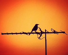 Silhouette bird on antenna (missgeok) Tags: silhouettebird silhouette sunrise antenna sydney australia newsouthwales outdoor onroof brightcolours yellow orange black colours composition backlight warmcolours morning