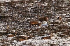 IMG_5295 (monika.carrie) Tags: reddeer monikacarrie wildlife scotland aberdeenshire royaldeeside