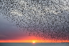 Brighton starling murmuration (lomokev) Tags: file:name=1802205dmrk31131 sunset starling starlings murmuration canoneos5d canon eos 5d nature birds brighton