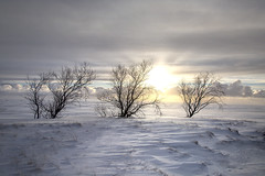 Delicate (Anne Strickland) Tags: iceland icelandinwinter snowonplains baretrees lonely nature naturallandscape delicate