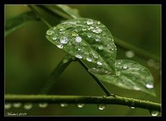 Morning Drops (VERODAR) Tags: leaf leaves dew dewdrops plants green garden nature morning morninglight nikon verodar veronicasridar