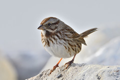 Song Sparrow (jt893x) Tags: 150600mm bird d500 jt893x melospizamelodia nikon nikond500 sigma sigma150600mmf563dgoshsms songsparrow songbird sparrow thesunshinegroup alittlebeauty coth coth5 sunrays5