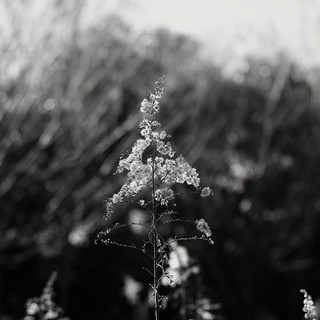 Canada goldenrod with my SIGMA DP3 Merrill (3/3)
