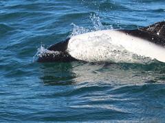 Dauphin de Commerson (Maud Douay) Tags: dauphin dolphin commerson cephalorhynchus commersonii cétacé delfines argentine argentina patagonie patagonia noir et blanc marin