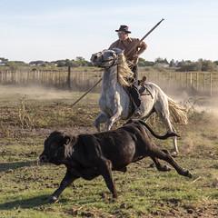 Job: Gardian! (Xtian du Gard) Tags: xtiandugard camargue job horse provence france mouvement dynamique poussière
