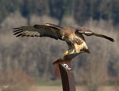 Whoa!  Slippery! (dennis_plank_nature_photography) Tags: avianphotography redtailedhawk ridgefieldnwr birdphotography naturephotography ridgefield wa avian birds nature