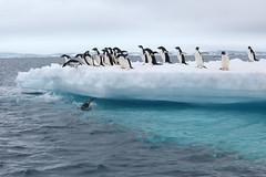 IMG_3720 (y.awanohara) Tags: adelie adeliepenguins penguins antarctica antarcticpeninsula wildlife january2019 icebergs ice icefloes