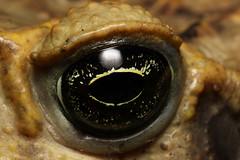 Huge cane toad (Rhinella marina) (edward.evans) Tags: canetoad rhinellamarina bufomarina toad amphibian bufonidae animal wildlife nature fauna poison poisonous herp herping herpetology chilamate sarapiqui costarica
