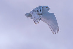 Harfang des neiges flyby (Snowy owl) (miro_mtl) Tags: attente buboscandiacus d7200 harfangdesneiges hibou michelrochon nikon nikond7200 outdoors snowyowl stbruno sthubert tamron tamronsp150600mm ailes america amerique animals bird birdofprey blanc bluesky canada chasse chasseur ciel feathers hiver hunter hunting light monteregie morninglight nature oiseau oiseaudeproie owl patience plumage quebec raptor sky snow waiting wildlife winter