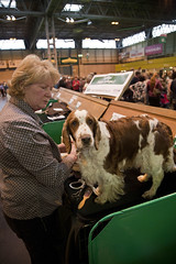 Diary_2016_040 (evinrisca) Tags: crufts welsh springer spaniel dogshow wsscsw