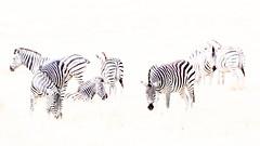 Zebra herd (Thomas Retterath) Tags: thomasretterath nature natur 2018 safari nopeople okavangodelta botswana africa afrika khwai wildlife highkey zebra equidae pflanzenfresser herbivore säugetier mammals animals tiere epuusquagga