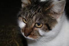 One of the farm Mouse catchers (excellentzebu1050) Tags: pet cat farm closeup animal animalportraits farmcat indoors coth5