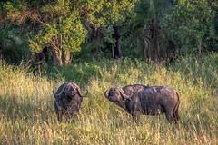 Buffalo at the Edge of the Forest (helenehoffman) Tags: africa synceruscaffer kenya conservationstatusleastconcern bovidae africanbuffalo mammal capebuffalo maasaimaranationalreserve animal specanimal