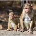 Apen op Elephanta Island voor de kust van Bombay - Mumbai in India ...