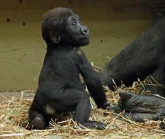 western lowlandgorilla Damsi Artis 094A0395 (j.a.kok) Tags: animal artis africa afrika aap ape mammal monkey mensaap primate primaat zoogdier dier gorilla westelijkelaaglandgorilla westernlowlandgorilla lowlandgorilla laaglandgorilla damsi