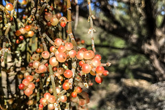 358/365 mesquite mistletoe (marianneleis) Tags: 365the2018edition 3652018 day358365 24dec18