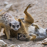 Young meerkats playing together II thumbnail