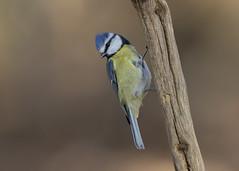 Blue Tit (cyanistes caeruleus) (Steve Ashton Wildlife Images) Tags: blue tit bluetit woodland bird woodlandbird cyanistes caeruleus cyanistescaeruleus