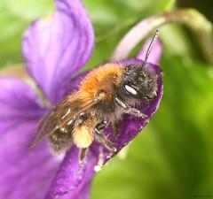 Andrena bicolor female (timz501) Tags: andrenabicolor jersey bee