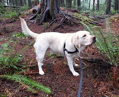 Gracie with a fern. (walneylad) Tags: gracie dog canine pet puppy cute lab labrador labradorretriever december winter boxingday greenwoodpark