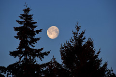 Staying up to see the sunrise (James_D_Images) Tags: moon dawn trees silhouette conifer douglasfir west coast craters blue sky