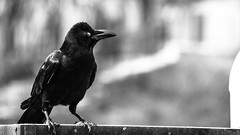 (rohitchaoji) Tags: bird birds birdphotography birdlovers birdshots avian ornithology wildlife nature naturephotography crow raven crows ravens corvids blackbird