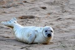 Seal Pup (Jen Buckle) Tags: greyseal greysealpup seal sealpup winterton wintertononsea norfolk jenbuckle wwwflickrcompeoplejenbuckle nikond7500 nikon beach sand wildlife mammal nature sanddunes
