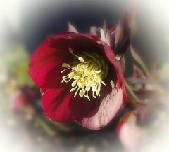 Hellebore pourpre (mamietherese1) Tags: itsallaboutflowers awesomeblossoms earthmarvels50earthfaves world100f legacy