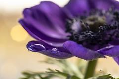 Purple beauty (Melanie Martinu) Tags: spring germany bavaria canon availablelight beautiful floral macrophotography nature blossom macro waterdrop purple beauty flower anemone