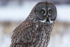 Great Grey Owl (dwb838) Tags: greatgrayowl portrait