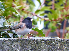 Dark eyed Junco (timber1212) Tags: sacramento california backyard bird darkeyedjunco