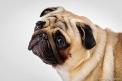 Baron 16MM (wketsch) Tags: dog portrait 70200 nikon pug detail face pet lovely