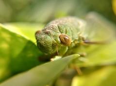 Grasshopper (samiatsourav) Tags: bangladesh macro green morning mobile phone photography lg li outdoor leaf flickrfriday fly flickrestrellas flickrheroes
