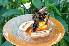 Vacances_0875 (Joanbrebo) Tags: mainau konstanz badenwürttemberg de deutschland canoneos80d eosd autofocus papallona papillon mariposa butterfly farfalle