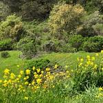 Mustard and Poppies thumbnail