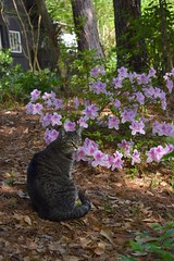 Camille and the azalea bush (rootcrop54) Tags: camille female mackerel tabby striped cat neko macska kedi 猫 kočka kissa γάτα köttur kucing gatto 고양이 kaķis katė katt katze katzen kot кошка mačka gatos maček kitteh chat ネコ azalea pink magenta spring flowers flowering bush