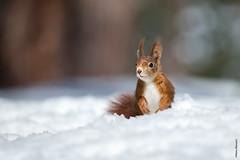 Waiting for.. (Mary Bassani) Tags: squirrel ardilla scoiattolo snow suiza switzerland naturewildlife naturewildlifephotographer naturaleza ngc mammal canonwildlifephotographer animalplanet animallovers redsquirrel