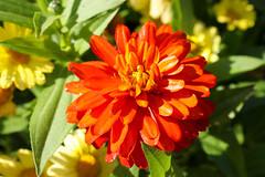 Vacances_0839 (Joanbrebo) Tags: mainau konstanz badenwürttemberg de deutschland canoneos80d eosd efs1855mmf3556isstm autofocus flors flores flowers fiori fleur blumen blossom