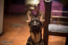 Img_001 (nkijac) Tags: 50mmlens nikon3200 portrait dog germanshepard