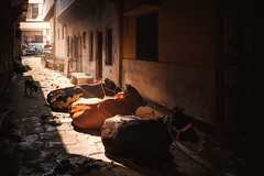 Three Cows (*trevor) Tags: 2019 fujifilmx india varanasi x100f streetcows