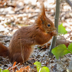 Red Squirrel in the woods (Eric KAROUTCHÉ) Tags: squirrel redsquirrel ecureuil woods forest bois vincennes foret nature animaux animals wildlife eosr ef100400mm