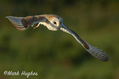 Barn Owl (markandruth.photos) Tags: owl wildlife photography nature canon canonuk canonphotography cotswolds flight flying feathers prey animal barnowl bird