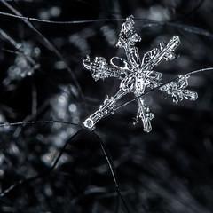Week 3 Inspiration: Black and White (arlene sopranzetti) Tags: bw black white monochrome dogwood2019 snowflake macro winter ice