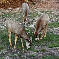 Springtime:  Three Mule Deer (Odocoileus hemionus) Bucks, Three Antlers (Ginger H Robinson) Tags: springtime march muledeer odocoileushemionus deer buck antler antlershed endofrut grazing grass rockymountain frontrange denver colorado