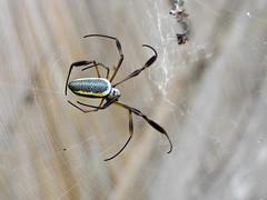 Fauna: golden silk orb-weavers spider (Nephila), PermaTree, Ecuador (yago1.com) Tags: ecuador zamorachinchipe permatree goldensilkorbweavers nephila