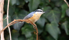 Red-breasted Nuthatch (wvsawwhet) Tags: westvirginia wv westvirginiabirds wildlife winter bird birding birds birdwatching birdsofwestvirginia marioncounty redbreasted nuthatch
