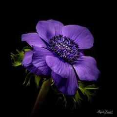 Blue anemone (Magda Banach) Tags: canon canon80d sigma150mmf28apomacrodghsm anemone blackbackground blue colors flora flower macro nature plants